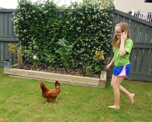 The elusive Rhode Island Red in her natural habitat being pursued by the majestic pre-teen human female.  Nature is wondrous.