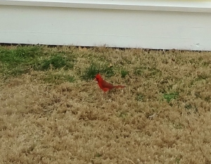"Meet ""Robert Redbird"""
