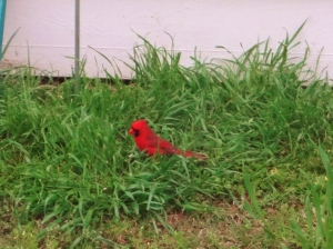My backyard celeb Mr. Robert Redbird