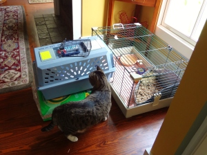 I bring Graycie home and let her transition from the carrier to her temporary cage at her own pace.