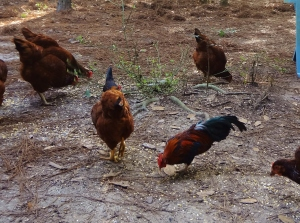 This little guy is a fully grown rooster who crows like a mouse being stepped on.