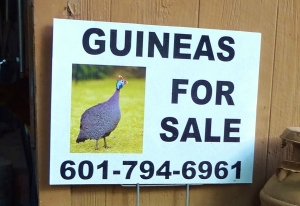 Yes, he said it's OK to show the number.  Call him for all your guinea hen needs.