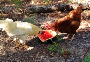 These are some of her chickens enjoying a late summer snack!