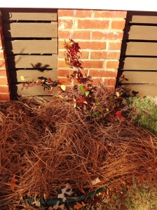 ...and I replaced the miniature red rose bushes in the front of the house with Confederate Jasmine.
