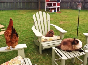 Rhoda, my foster chicken, Buster-Man & Mulder.
