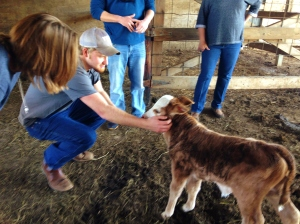 "Hannah got to pet a baby cow!  I hear they're actually called ""calves""."