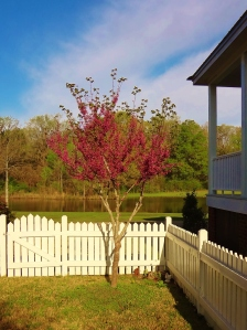 My redbud puts on a show for two weeks in March.
