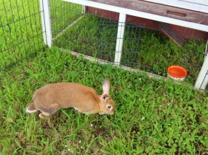 Before surgery, Caramel enjoyed some outdoor time in Buster's playpen.