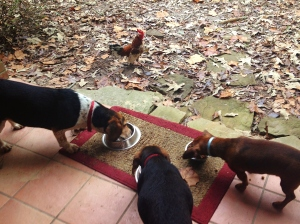 This chicken feed tastes funny guys!