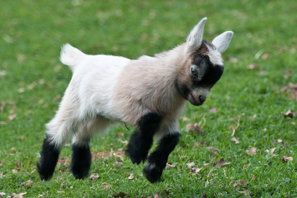 baby-goat-jumping[1]